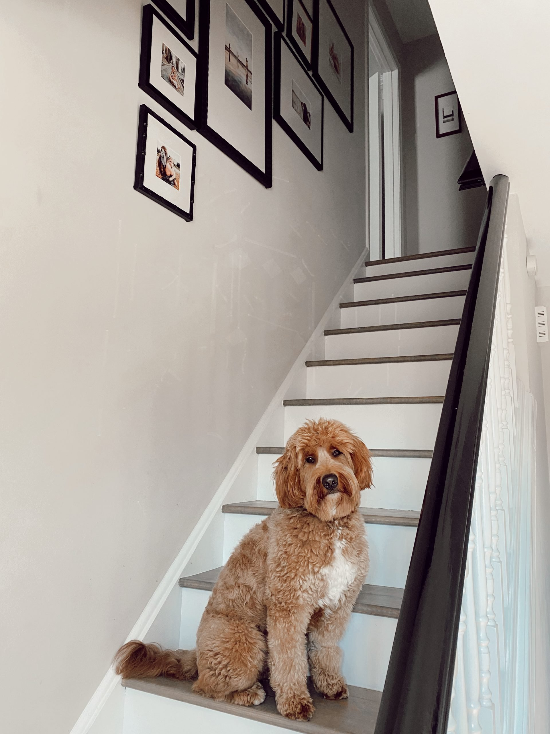 a goldendoodle dog sitting on a staircase in front of a gallery wall hung on the wall of black frames