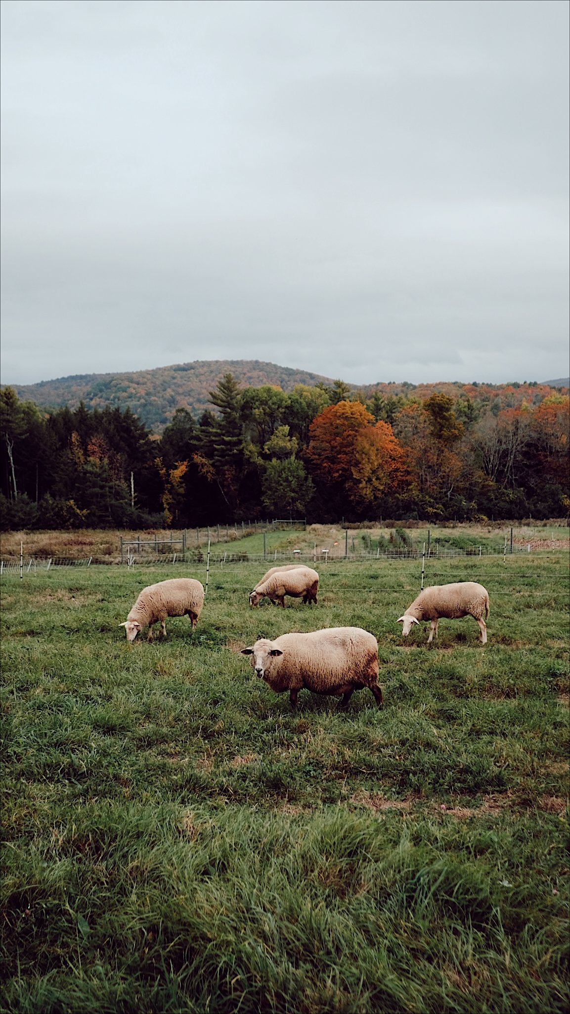 Sheep graze in a pasture in front of fall foliage