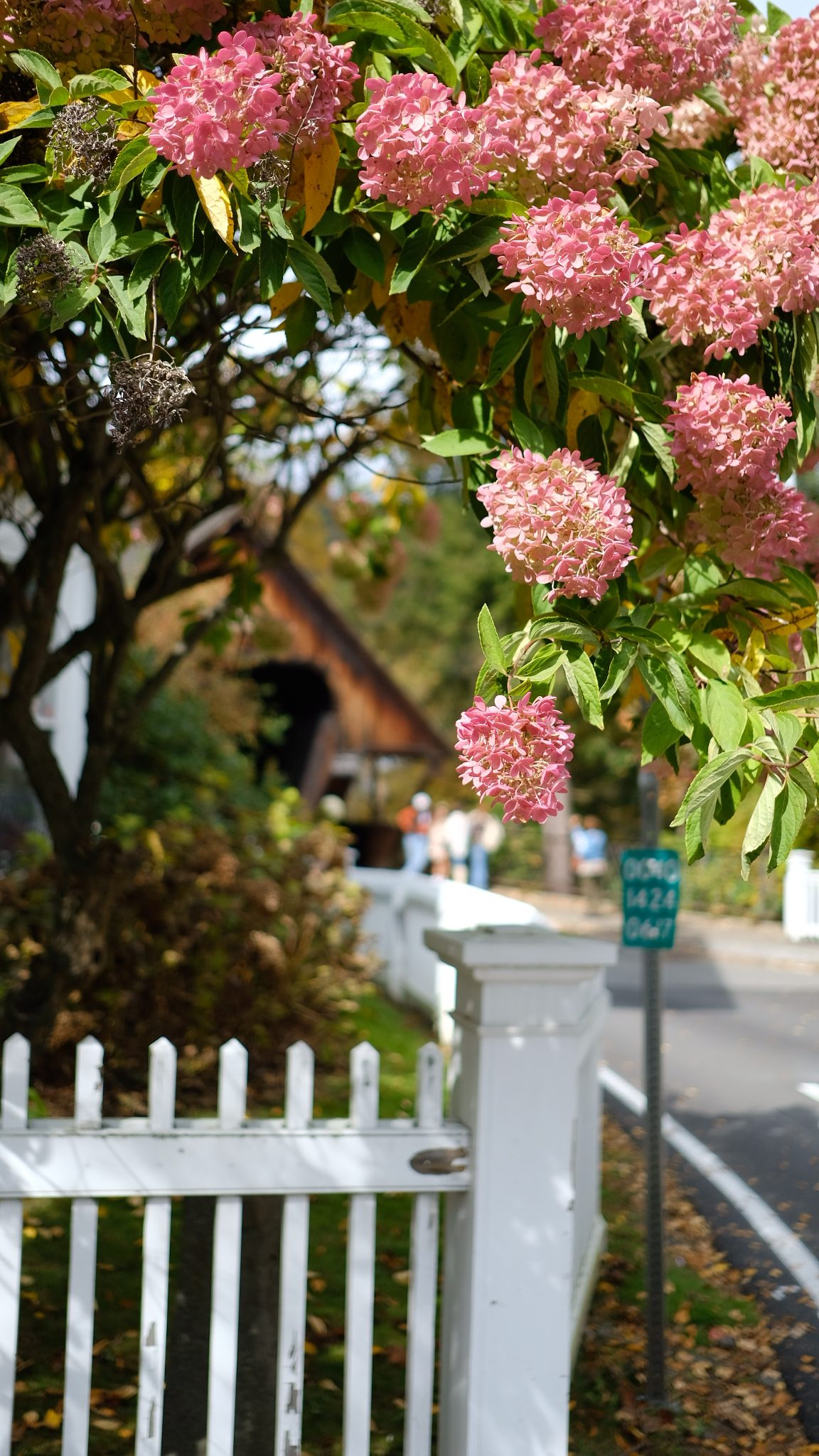 a pink hydrangea framing a covered wooden bridge