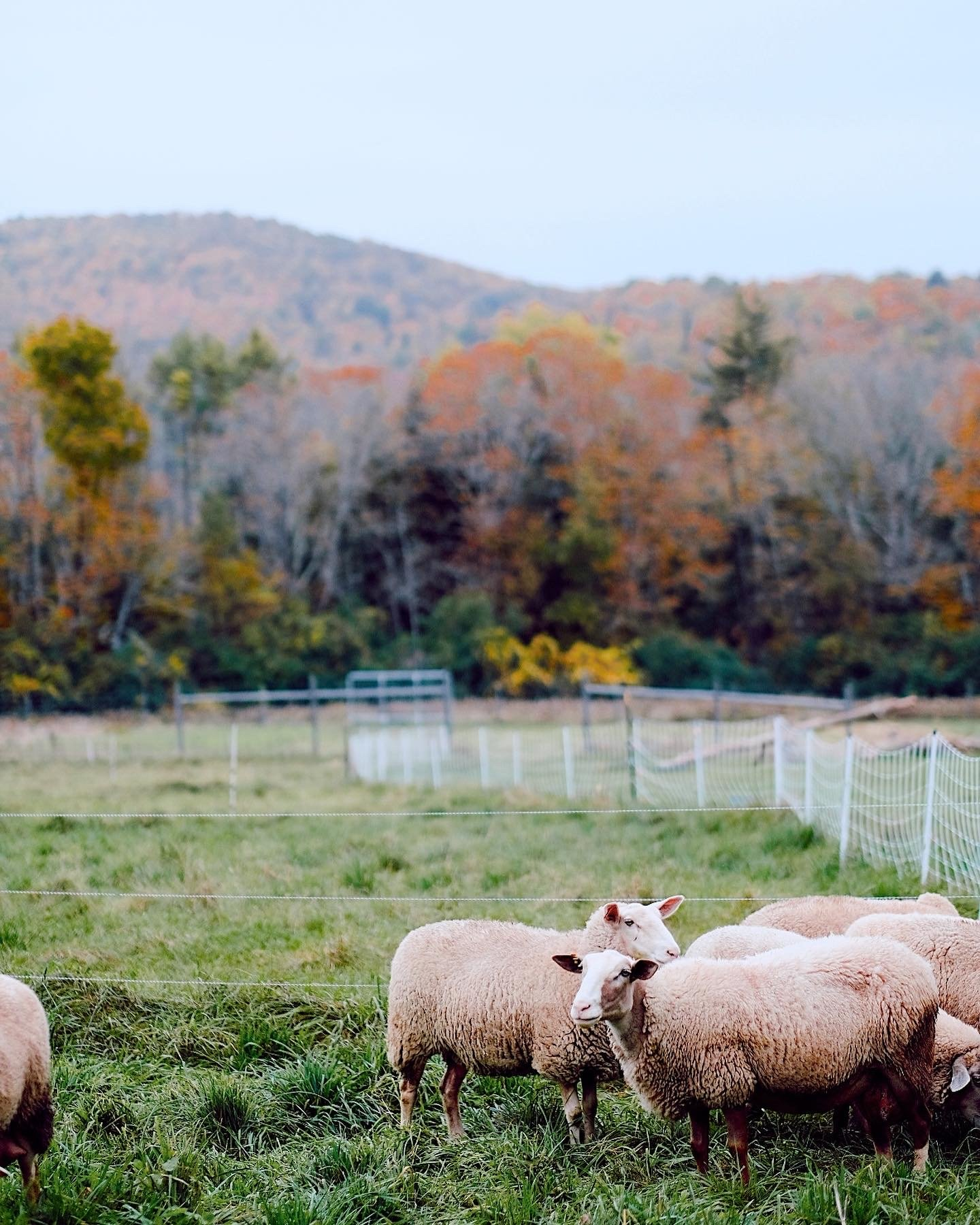 sheep grazing in a pasture with colorful leaves behind it