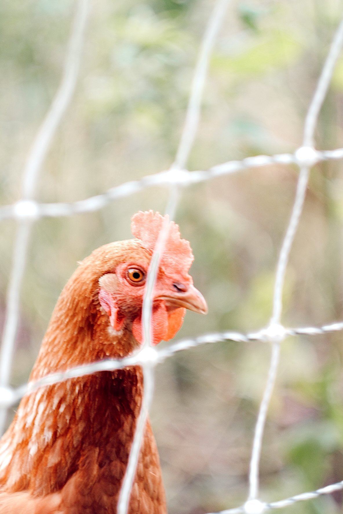 the head of a red hen